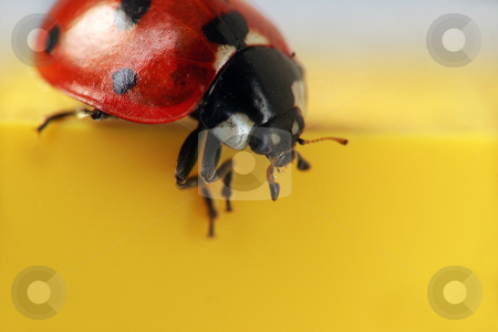 Ladybug extreme macro stock photo, Extreme macro close-up of a ladybug - seeing those in the winter is a sign of luck by Jon Helgason