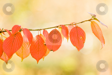 Autumn leaves on cherry tree stock photo, Red leaves on branch of cherry tree in autumn by Colette Planken-Kooij