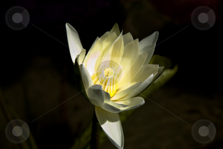 Single Lily stock photo, A white and yellow lily sitting in a pond of water by Kevin Tietz
