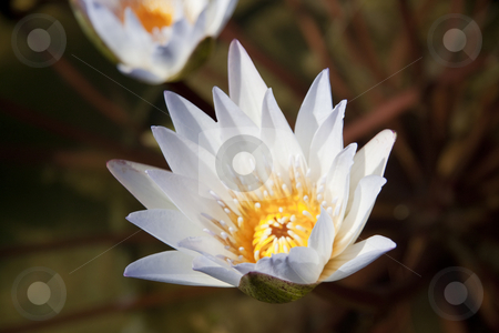 White Lily stock photo, A close up of a single white and yellow lily by Kevin Tietz
