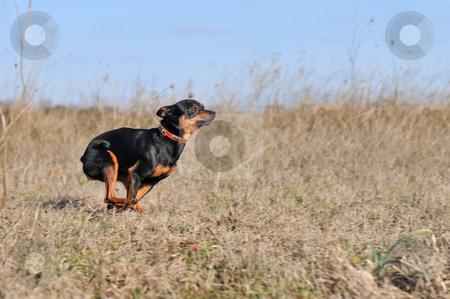 Running little dog stock photo, Running purebred miniature pinscher in a field by Bonzami Emmanuelle
