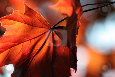 Brilliant Bronze Maple Leaf stock photo, A backlit Red Maple leaf shot from a beneath. by Chris Hill