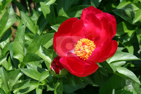 Red peony flower stock photo, An image of a Red peony flower bud by Jim Mills