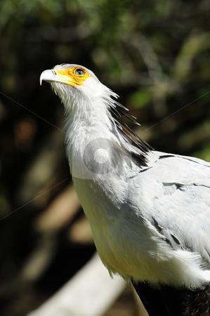 Secretary Bird stock photo, A large secretary bird looking up by Don Fink