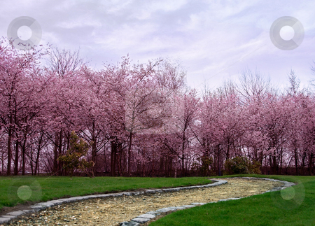 Cherry blossoms stock photo, Cherry blossom trees in springtime by Anneke