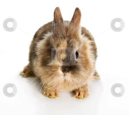 Little rabbit stock photo, Six weeks old little easter bunny on a white background by Anneke