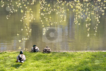 Three ducks in spring stock photo, Three ducks on early morning in spring resting at the waterside in the park by Colette Planken-Kooij