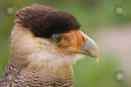 Southern Crested Caracara looking stock photo, This Southern Crested Caracara is looking around by Colette Planken-Kooij