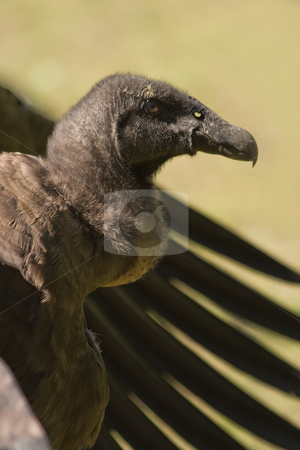 Young California Condor  stock photo, Young species of the California Condor sitting with its wings upset by Colette Planken-Kooij