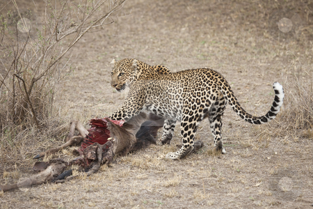 Leopard stock photo, A leopard is trying to protect his kill, Masai Mara, Republic of Kenya, East Africa by mdphot