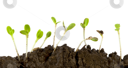 Lettuce seeds germinating stock photo, Lettuce seeds germinating from wet soil against white background by Marek Uliasz
