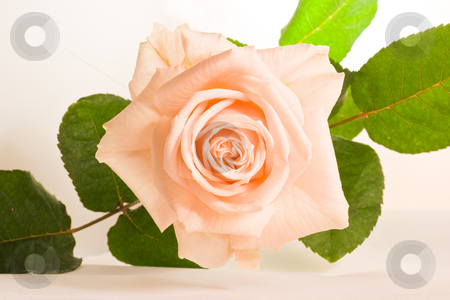Soft pink rose stock photo, Soft fragrant pink rose with green leaves by Colette Planken-Kooij
