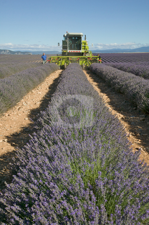 Lavender Harvest stock photo, View looking down a row of lavender in a field. Several men walk beside a large machine harvesting the lavender.  The sky overhead is blue. Vertical shot. by Josh Anon