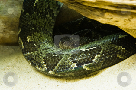 Green Snake stock photo, Python - green snake - resting and looking by Colette Planken-Kooij