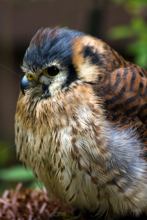 American kestrel or Sparrow hawk stock photo, American kestrel or Sparrow hawk - vertical image by Colette Planken-Kooij