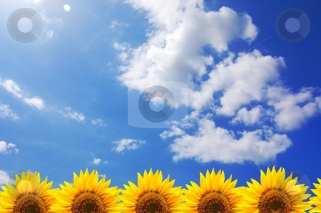 Blue sky and sunflower stock photo, Blue sky and sunflower showing summer concept by Gunnar Pippel