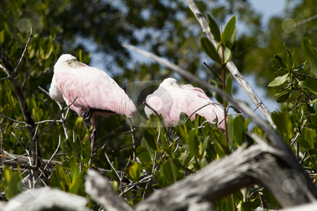 Roseate Spoonbil stock photo, Two roseate spoonbils rests in a tree at Ding Darling preserve on Sanibel Island by Bill Swiger