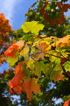 Fall Leaves stock photo, A branch with leaves turning fall colors. by Don Fink