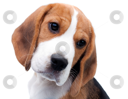 Cute beagle puppy stock photo, Cute dog. Beagle puppy looking curiously by Peter Kirillov