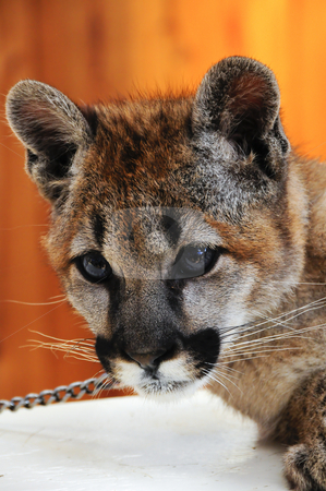 Mountain Lion stock photo, Mountain Lion cub in captivity by Bonnie Fink