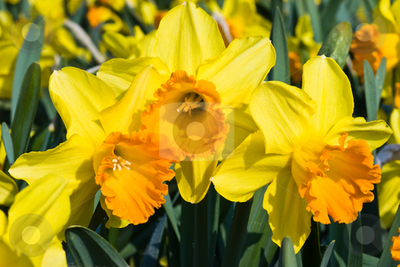 Orange and yellow daffodils in spring stock photo, Orange and yellow daffodils in spring in the april sun by Colette Planken-Kooij