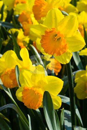 Group of orange and yellow daffodils in spring stock photo, Group of orange and yellow daffodils in spring in the sunshine by Colette Planken-Kooij