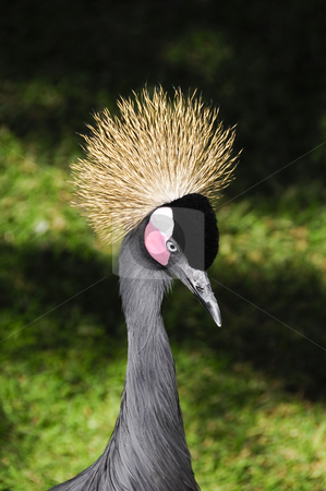 African crowned crane stock photo, Side view of a african crowned crane by Bonnie Fink