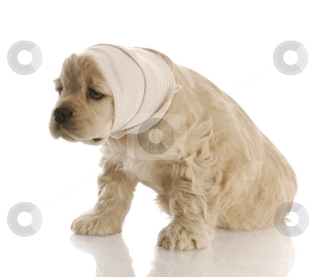 Sick puppy stock photo, American cocker spaniel puppy with head in bandage with reflection on white background by John McAllister