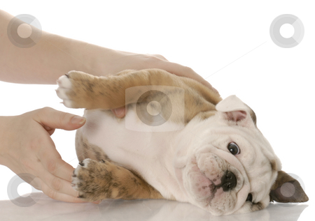 Picking up a small puppy stock photo, Hands reaching in to pick up an english bulldog puppy on white background by John McAllister