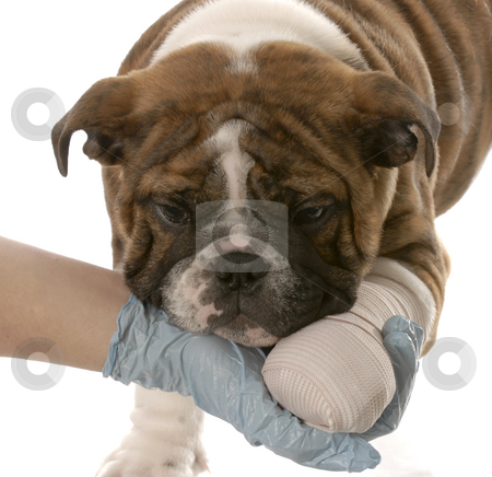 Dog with broken leg stock photo, Gloved hand holding on to wounded paw of english bulldog puppy on white background by John McAllister