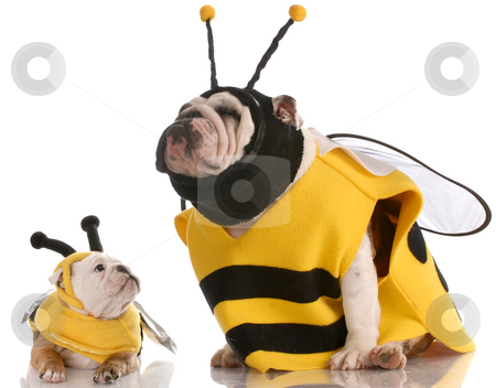 Dog dressed up as a bee stock photo, Mother and daughter bulldogs dressed up like bees by John McAllister
