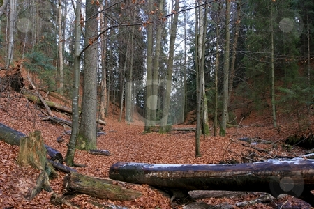 Forest stock photo, Autumn forest with fallen leaves in the mountains by P?