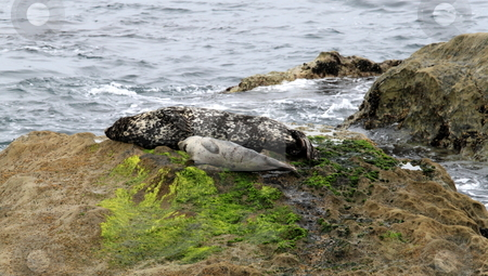 Seal stock photo, Two gray seals mother and child in California. by Henrik Lehnerer