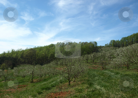 Apple orchard stock photo, Apple trees in bloom on a rural farm during the spring by Tim Markley