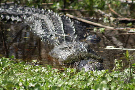 Florida Alligator in the Wild (3) stock photo, A large alligator in a central Florida swamp. by Carl Stewart