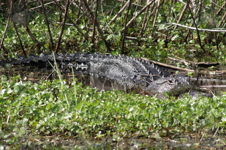 Florida Alligator in the Wild (1) stock photo, A large alligator in a central Florida swamp. by Carl Stewart
