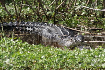 Florida Alligator in the Wild (2) stock photo, A large alligator in a central Florida swamp. by Carl Stewart