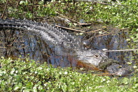 Florida Alligator in the Wild (6) stock photo, A large alligator in a central Florida swamp. by Carl Stewart