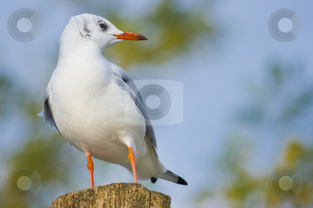 Young Black-headed Gull on wood stake stock photo, Young Black-headed Gull on wood stake with blue background by Colette Planken-Kooij