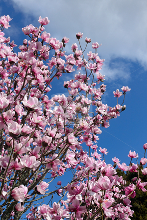 Magnolia tree pink spring blossom. stock photo, Magnolia tree pink spring blossom. by Stephen Rees