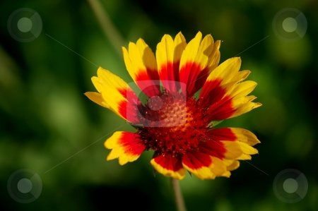 Flower stock photo, Colorful flower (indian blanket) on a field by P?