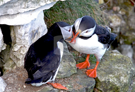 Two puffin birds kissing stock photo, Closeup of two affectionate puffin sea birds kissing. by Martin Crowdy
