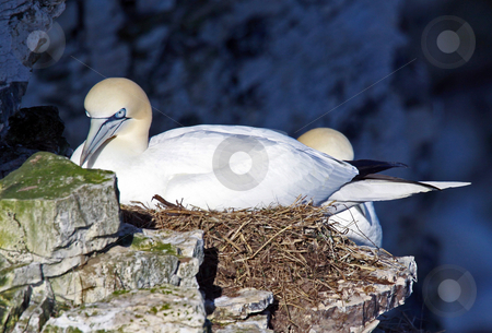 Nesting Gannet birds stock photo, Closeup of two nesting Northern Gannet birds on cliff. by Martin Crowdy