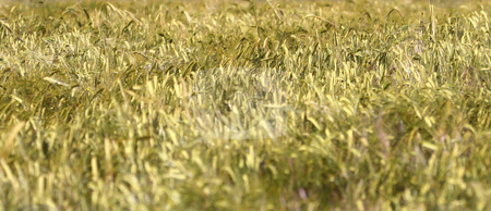 Ripe corn field stock photo, Wide angle background of ripe corn field in countryside. by Martin Crowdy