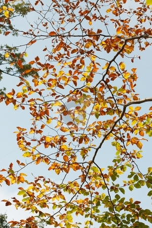 Autumn stock photo, Many small autumn leaves on the branches of a tree by P?