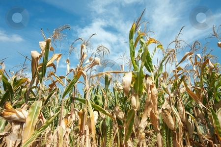 Corn field stock photo, Corn field with plant viewed from under by P?
