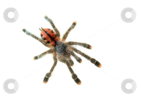 Spider stock photo, Tarantula spider isolated on white by P?