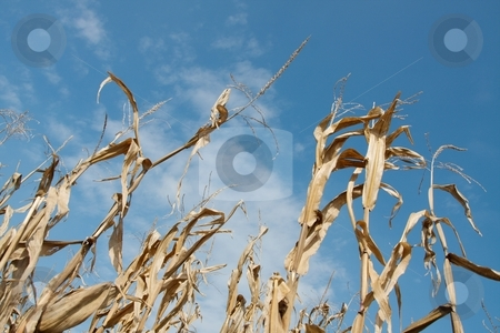 Corn stock photo, Corn plants on an agricultural field by P?