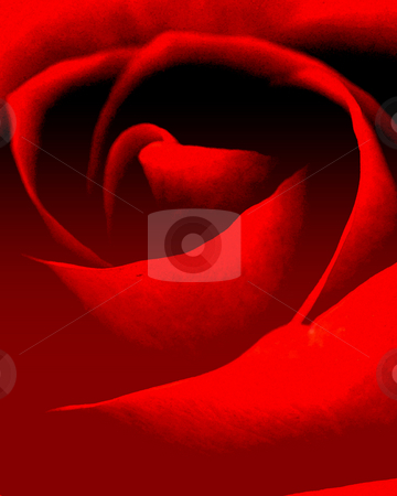 Red rose stock photo, Red flower close-up,used as background by Su Li