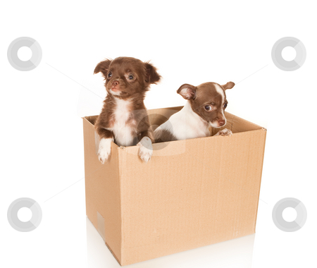Dog relocation stock photo, Two puppy chihuahua dogs in a brown box to be moved by Anneke